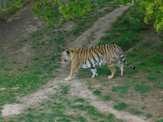 Tiger 006 by Vande-Bot