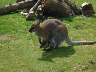 Wallaby 003 by Vande-Bot
