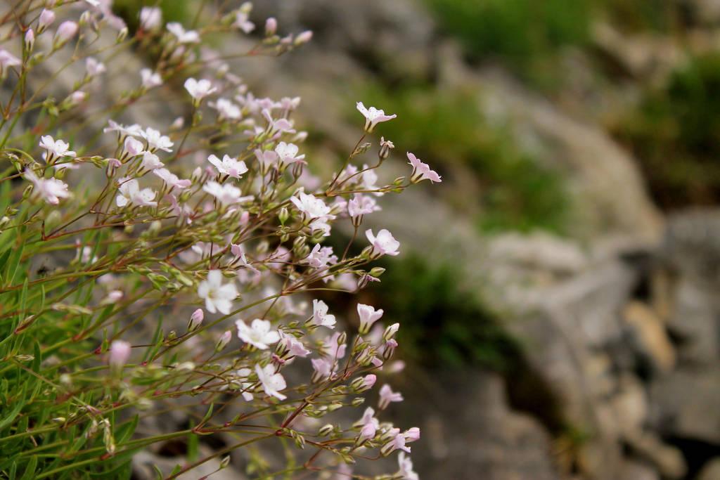 Little White Mountain Flowers By Alwaysmood On Deviantart