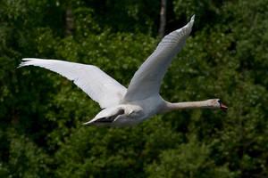 Swan in flight by FurLined