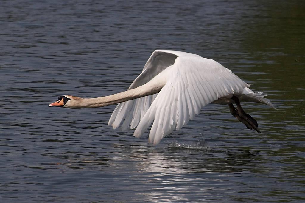 Swan in flight, 2 by FurLined