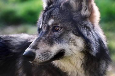Wolf Cub 2 by FurLined