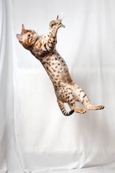 Bengal Caught Feather 1 by FurLined