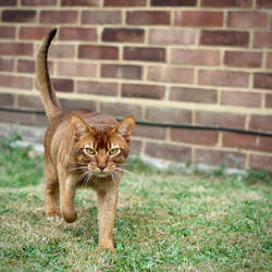 Abyssinian Cat Walking Towards Camera Stock 1 by FurLined