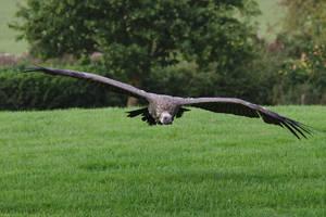 Vulture In Flight Stock 001 by FurLined