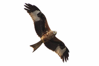 Red Kite 20140323-2 by FurLined