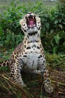Amur Leopard 20150713-1 by FurLined