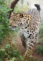 Amur Leopard 20150713-3 by FurLined