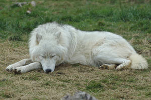 Sleeping Arctic Wolf Stock 20130401-1 by FurLined