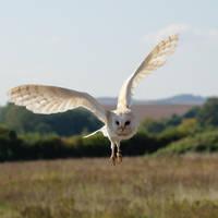 Barn Owl In Flight by FurLined
