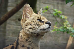 Serval 20150713-1 by FurLined