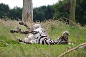 Kicking back, zebra-style by FurLined