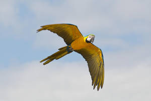Blue and Gold Macaw Flying Stock 20160705-3 by FurLined