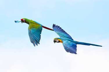 Blue and Gold Macaw Flying Stock 20160705-4 by FurLined