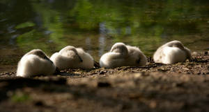 Sleeping Cygnets by FurLined