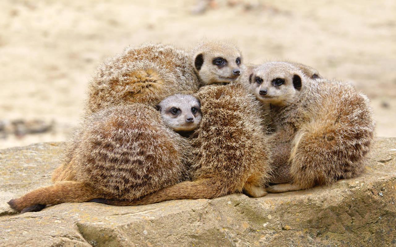 Bundle o' Meerkats by FurLined