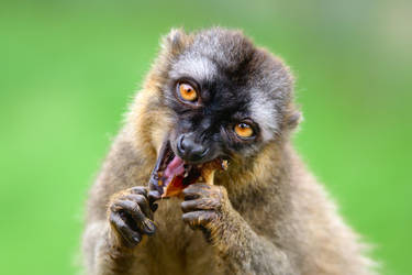 Red-fronted Lemur, eating by FurLined