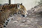 Jaguar by Sarahmon