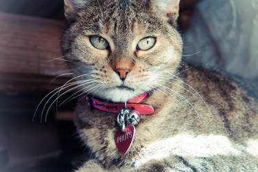 Brown Stripped Cat Pink Collar by Trickylady