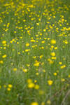 alpine buttercup 5 by JasonKaiser