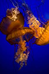 jellyfish 17 by JasonKaiser