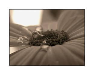 tears of a flower by PeSSeg0