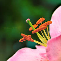 Oriental Lilly by Teeslpscreations