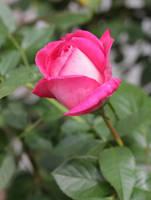 Rose by DelphineHaniel