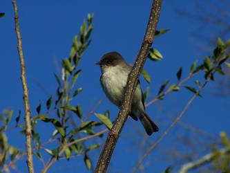 Eastern Phoebe by nbolin