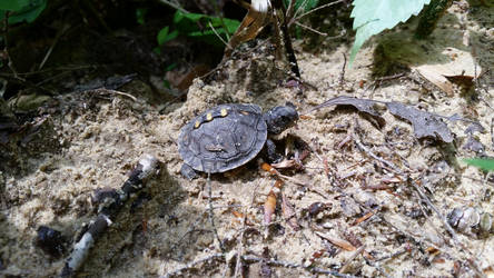 Hatchling Eastern Box Turtle by nbolin
