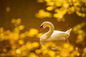 Prince Swan by Unkopierbar