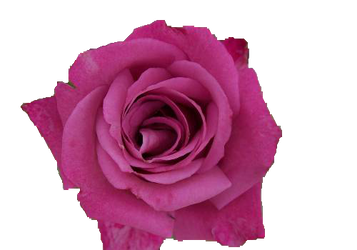 Pink Rose PNG by Vixen1978