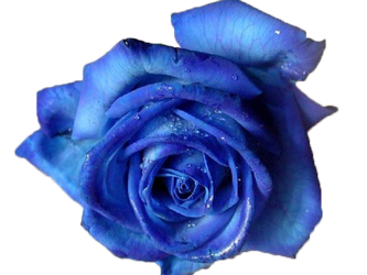 Blue Rose PNG by Vixen1978