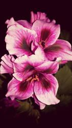 series of Geranium 6 by FlowerOfTheForest