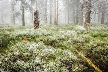 Foggy forest by Westik