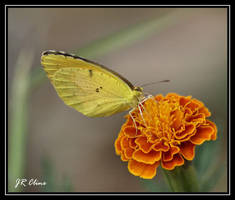 Butterfly and marigold by eskimoblueboy