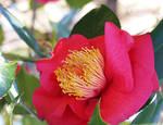 Red Camellia by eskimoblueboy