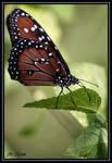 Butterfly by eskimoblueboy