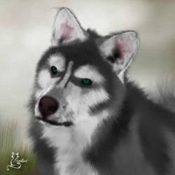 Husky by simkas62