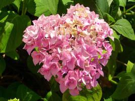 Pink flower bush by ithilwenia