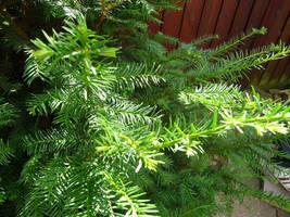 Yew tree by ithilwenia