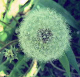 dandelion by JanuaryLOVER