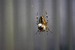 Spider became hungry.. by sonnae