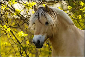 Norwegian fjord horse by missecole