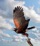 Haris's Hawk 1 by Mammoth-Hunter