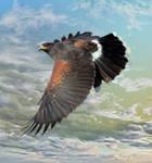 Harris's Hawk 2 by Mammoth-Hunter