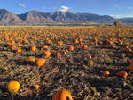 pumpkin patch 6 by yellowicous-stock