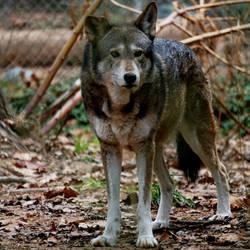 Wholewolf by Siochanna