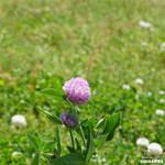 Big Clover Blossom by Siochanna