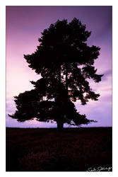 Lonesome Pine by lostheart